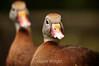 Black-Bellied Whistling Ducks - La Paz Costa Rica (6) D