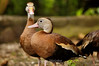 Black-Bellied Whistling Ducks - La Paz Costa Rica (4) D