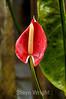 Anthurium - La Paz Costa rica (3) D
