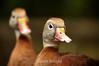 Black-Bellied Whistling Ducks - La Paz Costa Rica (7) D