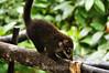 Coatimundi - Costa Rica (9) D