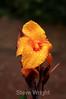 Canna Lily - La Paz Costa Rica (1) D