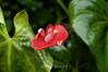 Anthurium - La Paz Costa rica (1) D