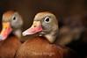 Black-Bellied Whistling Ducks - La Paz Costa Rica (1) D