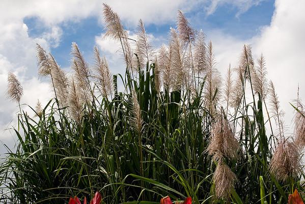 Sugar Cane blooms
