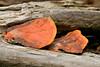 Fungi - Manuel Antonio Park - Costa Rica (2) D