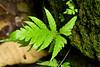 Ferns - Manuel Antonio Park - Costa Rica (1) D
