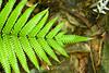 Ferns - Manuel Antonio Park - Costa Rica (2) D
