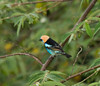 Golden headed tanager from a distance. Not a good shot but the only one I got of this bird