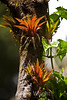 Bromeliads - Poas Volcano - Costa Rica (11) D