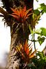 Bromeliads - Poas Volcano - Costa Rica (12) D copy