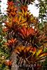 Bromeliads - Poas Volcano - Costa Rica (17) D