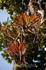 Bromeliads - Poas Volcano - Costa Rica (7) D
