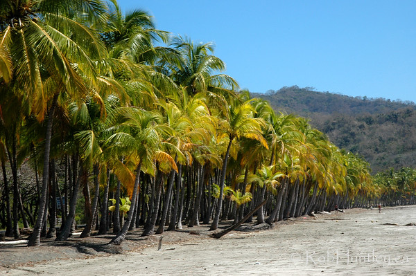 Palms in a row, yellowing during the dry season. This is Playa Carrillo near Samara, Costa Rica.