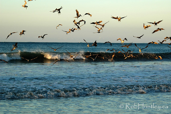 Pelicans at sunrise. Feeding in the surf, Samara, Costa, Rica.  © Rob Huntley