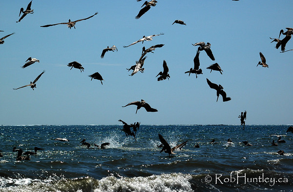 Diving pelicans in a crowded surf. Pelicans in Samara, Costa Rica.
