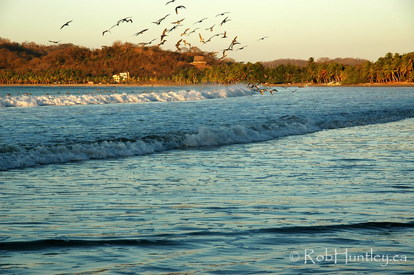 Pelicans at sunrise. Feeding in the surf, Samara, Costa, Rica.