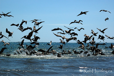 Pelican Feeding Frenzy at Playa Samara, Costa Rica.