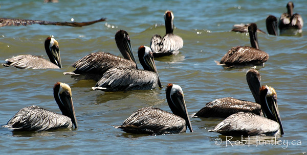 After the party. Pelicans in Samara, Costa Rica.