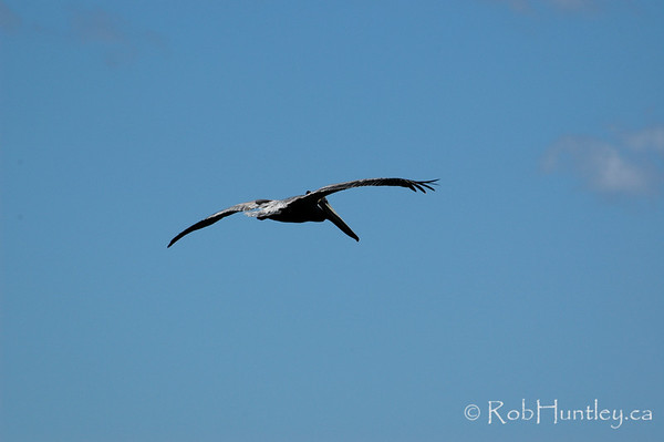 Pelican in flight at Playa Samara, Samara, Costa Rica.  © Rob Huntley