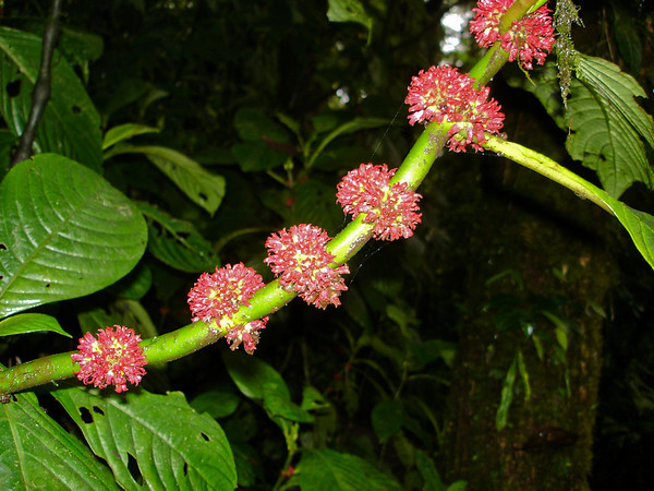 Coffee blooms; Monteverde Cloud Forest