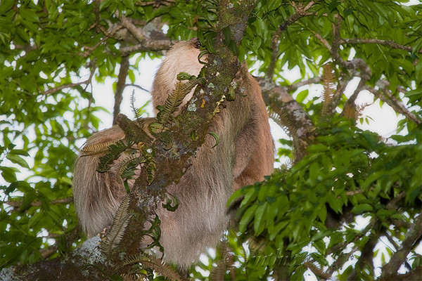 On the way back to the lodge from the cloud forest, Eduardo (our Monteverde guide) spotted a Sloth up in a tree.  If you look closely, you can see one eye.