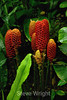 Beehive Ginger - Tabacon Costa Rica (8) D