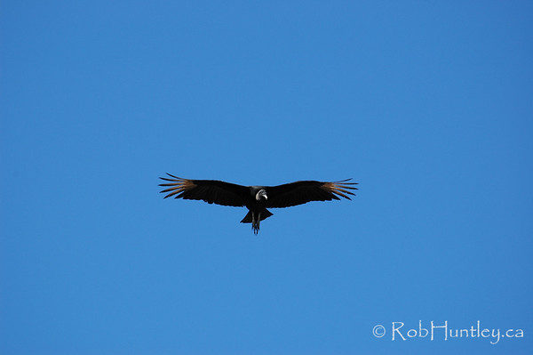 Black Vulture - Coragyps atratus - at Playa Tamarindo, Costa Rica.  © Rob Huntley