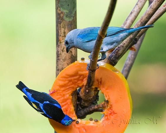 Red-legged honeycreeper? and a Blue-grey Tanager at Tilajari