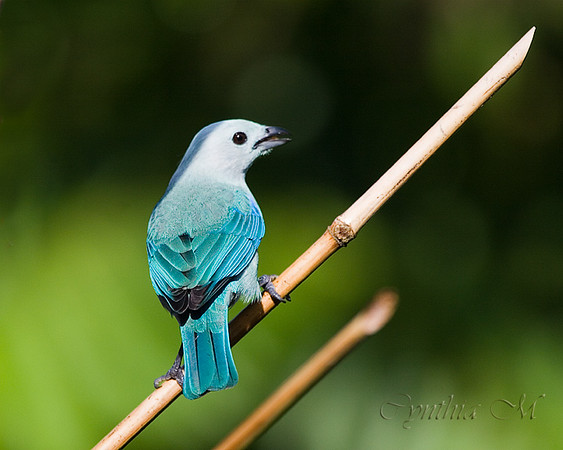 Blue-grey Tanager at Tilajari