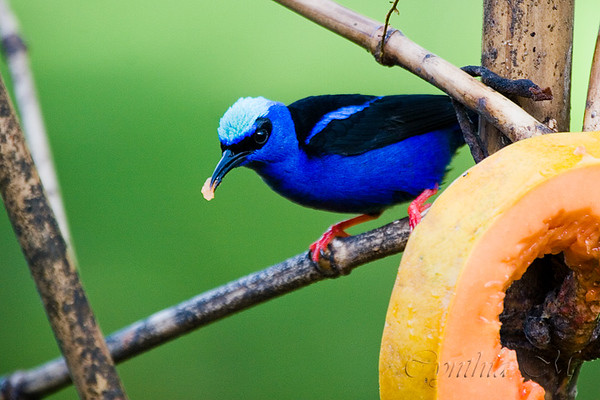 Red-legged honeycreeper (?) at Tilajari