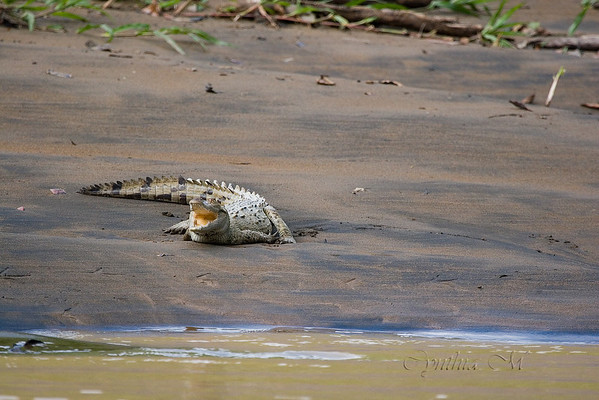 Caiman on bank of Penas Blancas