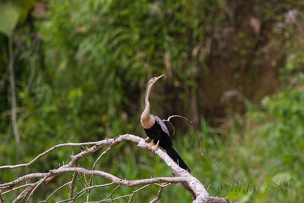 Anhinga on Penas Blancas