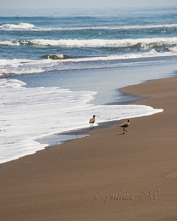 Whimbrels on the beach on Totuguero