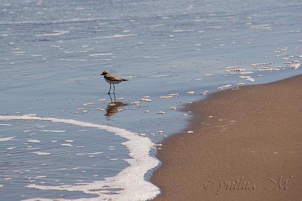 Spotted Sandpiper?