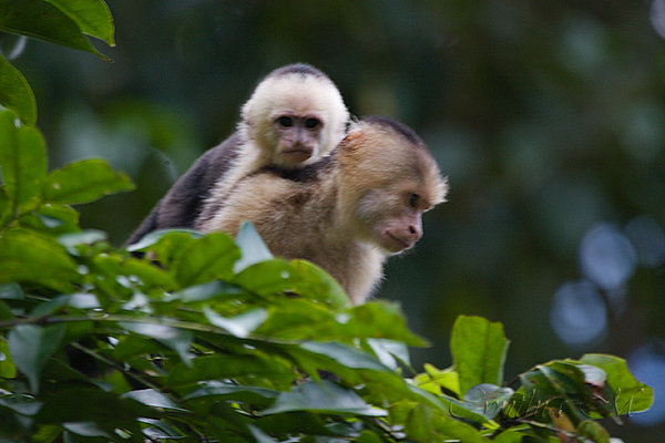 Capuchin mama and baby