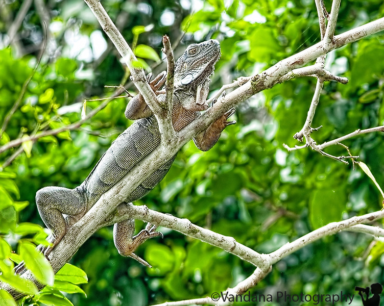 December 14, 2010 - Iguana in Tortuguero National Park.<br /> On a boat tour in TNP, we spotted <br /> spider monkeys, <br /> howler monkeys, <br /> caiman, <br /> herons, <br /> egrets, <br /> kingfishers, <br /> toucans, <br /> turtles,<br /> and yes, iguanas.<br /> <br /> The fauna allow close access & can be captured with a 70-200mm with an SB-800 flash. The boatman gave a bit of Tico history, how they evolved from turtle eating to logging to eco-tourism lodges, all in the last 15 years. Now tourism is the biggest contributor to the economy, turtles are a preserved species, and logging is illegal.<br /> <br /> Spider monkeys are tiny black monkeys with long forearms, longer than the legs, and a tail so strong they can hang upside down by the tails. Caimans are mean-looking smaller sort of crocs. Iguanas blend in very well atop coconut trees and are hard to spot.