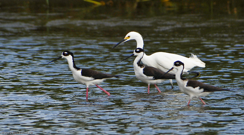 """I know its here somewhere guys!""  Snowy egret with black-necked stilts."