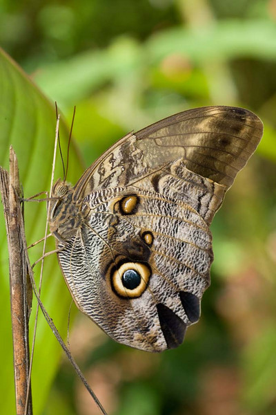 Owl Butterfly, Caligo