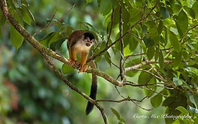 Titi or Squirrel Monkey.