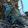 Green Iguana (Iguana iguana) or Common Iguana
