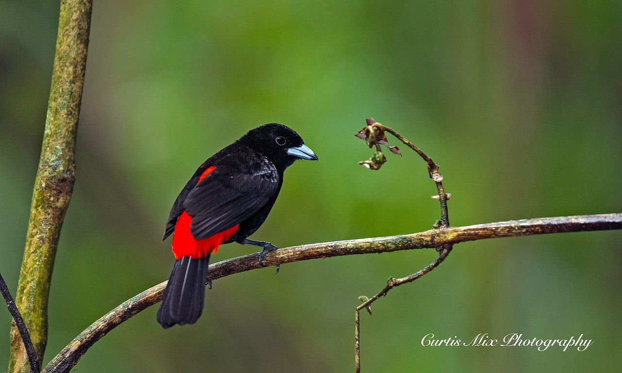 Passerini's Tanager, male.
