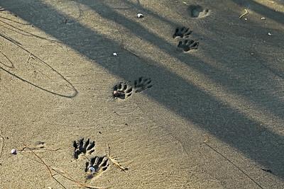 What animal walked here?  Perhaps a coati.