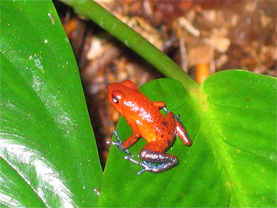 Blue Jeaned Frog. Tortuguero, Costa Rica.