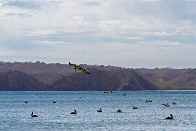 In the bay, brown pelicans are looking for fish.
