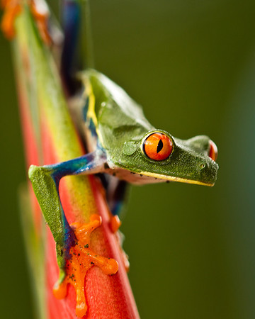 Red eye tree frog, conservation emblem