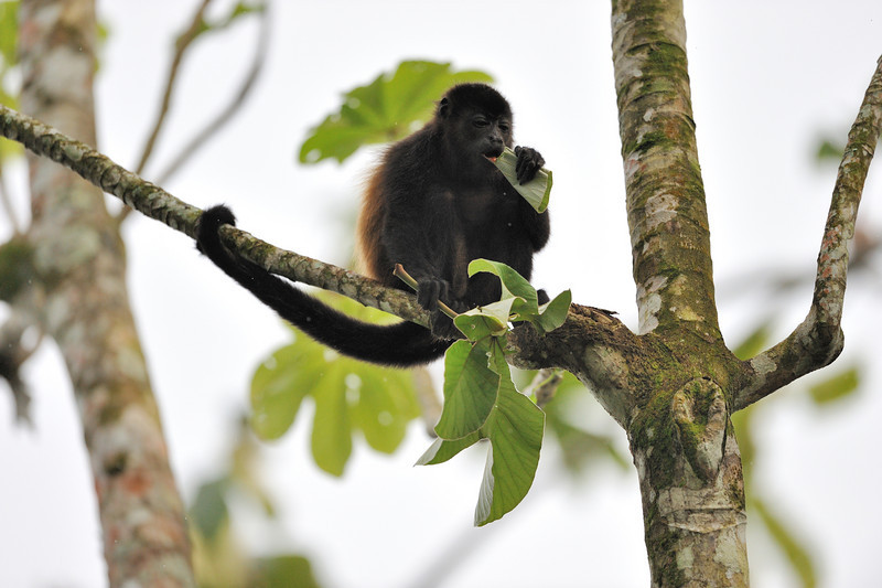howler monkey lunch