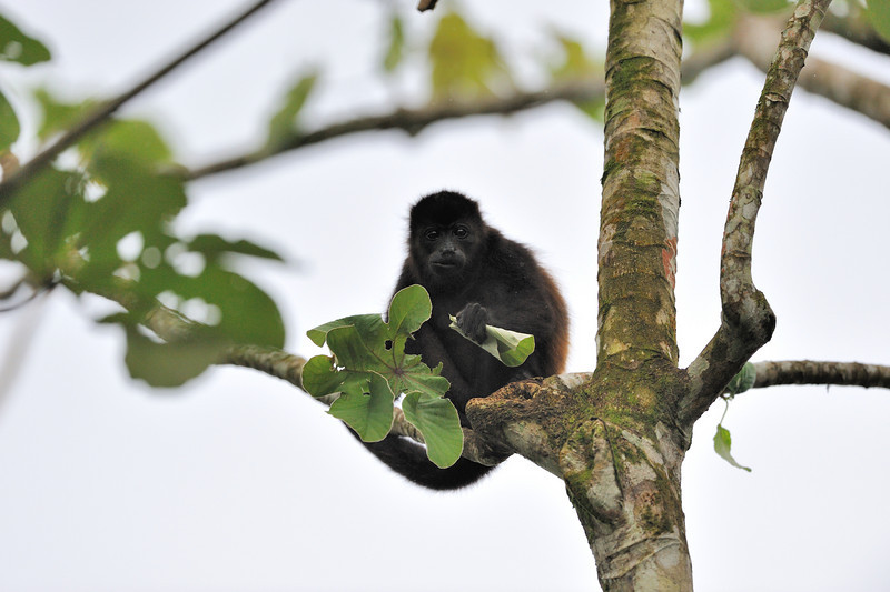 howler monkey chew