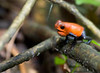 A Croaking Strawberry Poison Dart Frog