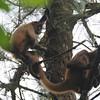 Spider monkeys, Arenal Observatory Lodge